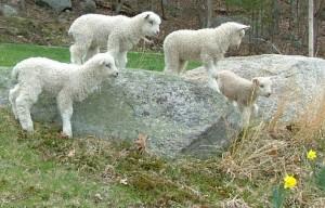 Cotswold lambs on rocks