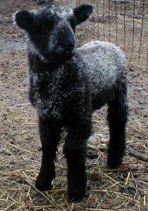 Black Cotswold lamb