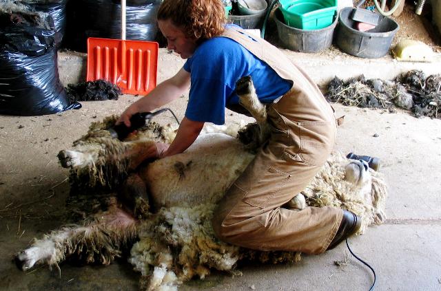 Shearing Ram by Ann Kaminski